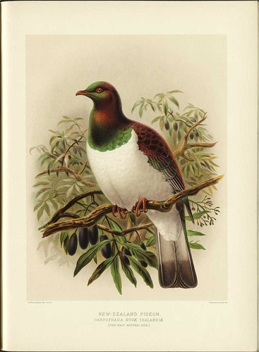 New Zealand Pigeon - Carpophaga noveae