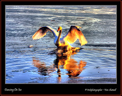 Dancing On Ice (Irishphotographer) Tags: ireland irish lake art beach nature water birds golden swan colorfull wildlife explore swans sureal hdr irishart kinkade movingwater naturesfinest dancingonice coarmagh beautifulireland nakedbeauty besthdr imagesofireland picturesofireland pentaxk20d kimshatwell irishphotographerkimshatwellireland craigavoncoarmagh craigavonwatersportscentre irishcalender09 irishphotographer calendarofireland breathtakingphotosofnature beautifulirelandcalander wwwdoublevisionimageswebscom