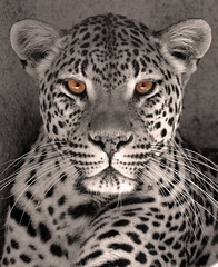 Memphis Leopard Artwork 5-0 F LR 4-27-07 J167 (sunspotimages) Tags: abstract animals artwork otw specanimal animalkingdomelite itsazoooutthere matizanimal flickrbigcats