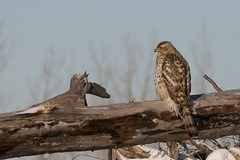 northern goshawk 1 (male?)