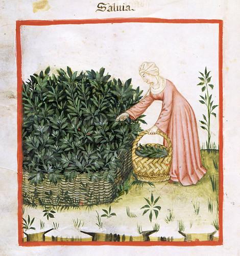 018- La salvia planta medicinal-TACUINUM SANITATIS- Biblioteca Casanetense Ms. 4182