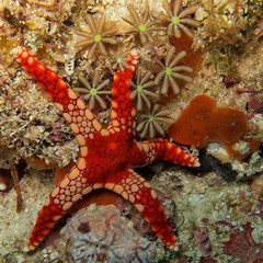 Fromia monilis, a star in a flower garden (danielguip) Tags: starfish diving malaysia borneo supershot flickrtodo invertebates mabaul photographerlaelia taxonomy:binomial=fromiamonilis