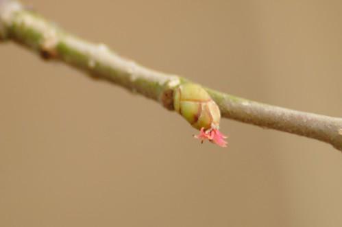 Coryllus avellana, hazelaar. Vrouwelijk bloempje