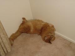 Twisted・捩れている猫 (drayy) Tags: orange cat ginger sleep fluffy sleepy mainecoon neko ggg cc300 cc200 cc100 oreengeness thebiggestgroupwithonlycats catnipaddicts