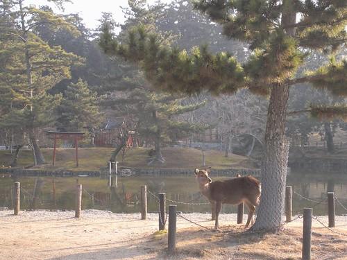 早朝の東大寺(鹿たち)-01