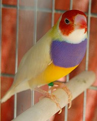 Yellow back, red headed Gouldian Finch (jungle mama) Tags: birdcage miami finch aviary rainbowfinch breedingfinches ladygouldian gouldianfinch erythruragouldiae chloebiagouldiae breedingbirds babyfinches gouldsfinch breedinggouldians raisingfinches babyfincheseyesclosed babyfincheswithpinfeathers finchwing biscayneparkflorida redpurpleyellowfinch purpleandyellowgouldian