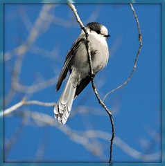 Did you just call me an oversized Chickadee? (makeupanid) Tags: jay bluesky explore algonquinpark grayjay camprobber greyjay perisoreuscanadensis whiskeyjack featheryfriday specanimal wingedwonders imagesonblue birdsagainstthesky interestingess61