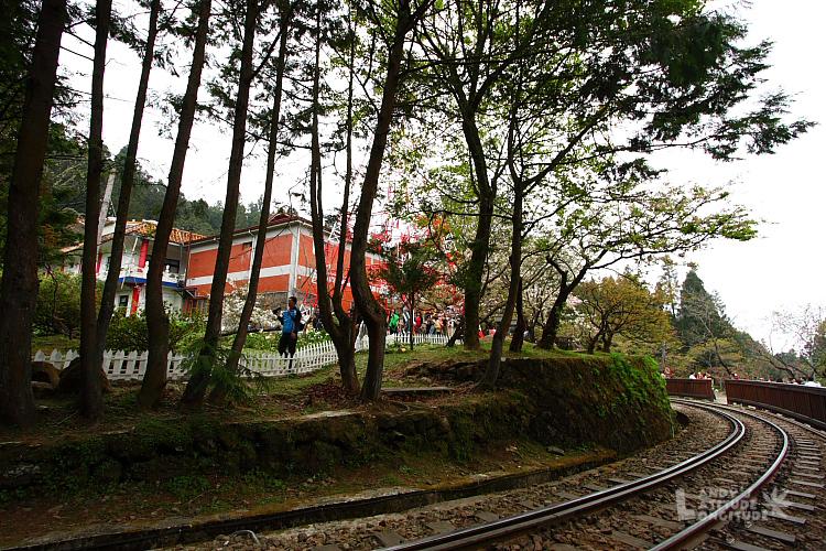 9803-阿里山櫻花_163.jpg