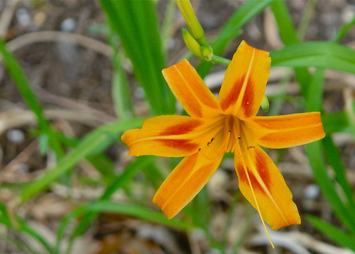 My First Daylily