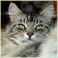 Floris: We cats are not pleased, they are going on holiday for three whole weeks. BACK AGAIN AND WILL CATCH UP SOON. REPOST (Cajaflez) Tags: pet holiday cute green cat vakantie eyes kat chat longhair mainecoon katze ogen groene gatto kater langharig 100commentgroup saariysqualitypictures doublyniceshot tripleniceshot mygearandme mygearandmepremium mygearandmebronze mygearandmesilver mygearandmegold mygearandmeplatinum mygearandmediamond aboveandbeyondlevel1