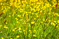 Meadow sunshine (RPO'H) Tags: grass yellow dof bokeh meadow seeds 50mmf14 buttercups