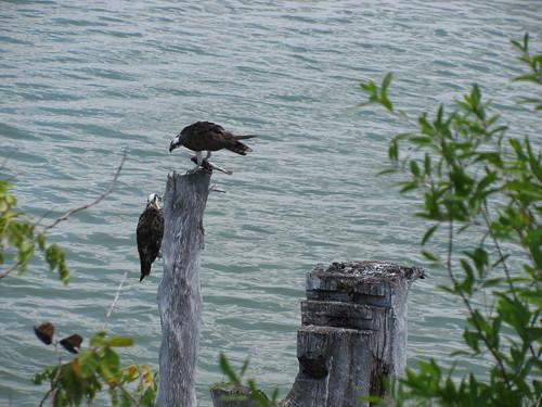IMG_5632-Bowditch-osprey-fish