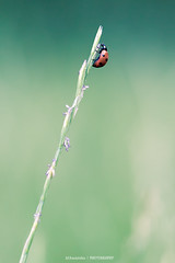 / (Marc Benslahdine) Tags: blue red flower macro green nature bokeh ladybug coccinelle lightroom canonef100mmf28macrousm canoneos5dmarkii marcbenslahdine marcopixcom