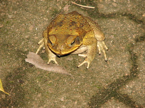 Cane Toad Bufo marinus