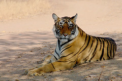 Machli's Cub (Aniruddha Sur) Tags: india nature forest d50 nikon wildlife jungle rajasthan ranthambhore ranthambhoretigerreserve flickrbigcats
