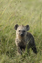 Young Hyena (Lyndon Firman) Tags: africa kenya hyena masaimara naturesfinest spottedhyena impressedbeauty