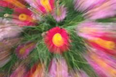 color burst (journeyman62) Tags: pink flowers motion blur color colour green nature yellow canon petals spring movement zoom creative burst riceworld rebelxti flowerpicturesnolimit incrediblenature fleursetpaysages