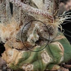 Digitostigma (Astrophytum) caput-medusae (Blossfeldiana) Tags: branch offset astrophytum caputmedusae digitostigma hugyourcacti