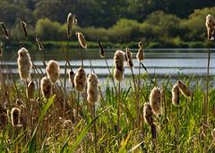 bullrushes (Debbie G) Tags: lake bc may victoria swanlake scape 2008 bullrushes photofaceoffwinner pfogold