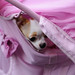 チワワ:Chihuahua_25
