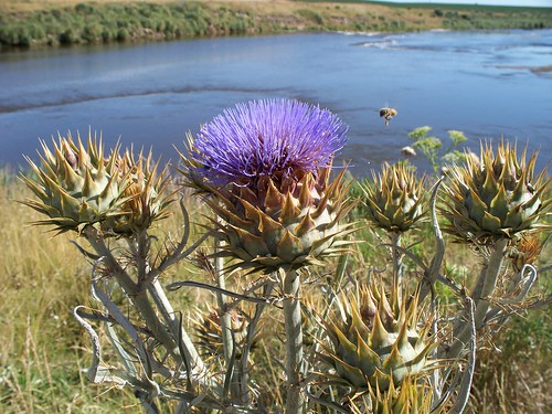 Cardoons [Cardo] Near the Río Quequén in Necochea, Argentina by katiemetz on Flickr