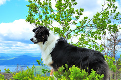 Odin on top of the Mountain (Micha67) Tags: vacation dog pet sun newyork mountains clouds michael hiking shepherd australian may lakegeorge micha traveling aussie odin 2008 sleepingbeauty adirondack bestinshow schaefer abigfave anawesomeshot aplusphoto diamondclassphotographer flickrdiamond goldstaraward spiritofphotography