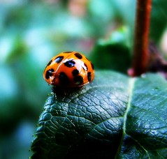 Ladybug Walking Away (mightyquinninwky) Tags: friends light reflection leaves bug insect leaf pod backyard shiny dof bokeh 5 kentucky beetle award ladybug pow invite naturesbest westernkentucky flyinginsect thebigone 4aces unioncountykentucky ohiorivervalley 5faves 31group flickrstars morganfieldkentucky 1on1bokehdof heartawards platinumheartaward 1on1bokehdofphotooftheweek simplysuperb thebluegrassstate flickrestrellas 469photographer jasonpresser 1on1bokehdofphotooftheweekoctober2008 11223344556677 bestofformyspacestation