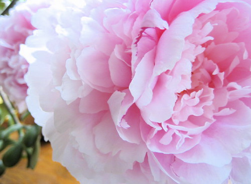 my mother's peonies