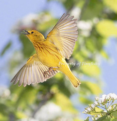 (#202) Yellow (tinyfishy) Tags: ontario bird yellow flying inflight bravo warbler yellowwarbler naturesfinest abigfave platinumphoto anawesomeshot diamondclassphotographer flickrdiamond goldstaraward