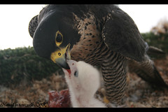 .:  :. (Hamad Al-Nasr  (UK)) Tags: baby falcon hamad