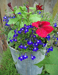 Lobelia and petunias in a bucket