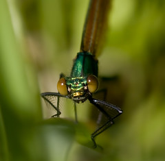 Junior (Chrissie64) Tags: macro green nature closeup insect ilovenature eyes flickr dof wildlife myfavourites damselfly beautifuldemoiselle inspiredbylove mywinners anawesomeshot impressedbeauty