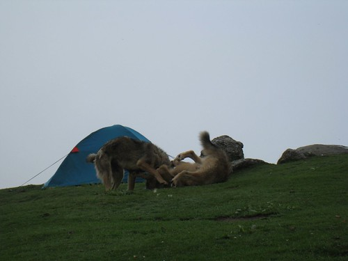 Dogs play in Triund