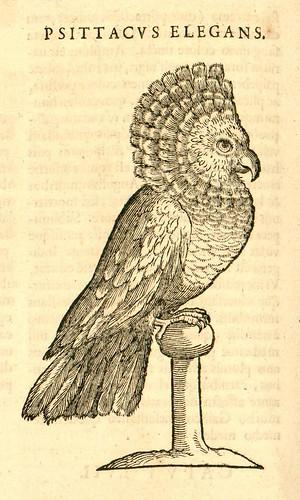 Psittacus Elegans - Nieremberg (SICD) 1635
