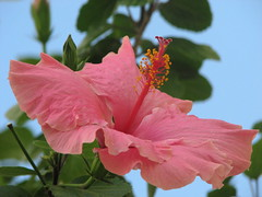(Pupypan) Tags: flowers hibiscus fiori ibisco golddragon theperfectphotographer awesomeblossoms