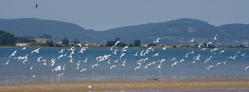Sea Gulls Take Flight