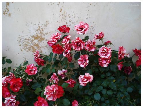 Rosas. Jardin de las Flores. Reales Alcázares de Sevilla - a photo ...