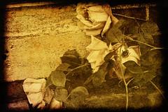 Indecision: 1 of 3 (figment_) Tags: flowers roses stilllife texture vintage artistic chapeau layers legacy textured tistheseason firstquality ttv fineartphotos golddragon abigfave lightblueroom visiongroup photographydigitalart infinestyle memoriesbook proudshopper theperfectphotographer awardtree magicdonkeysbest kunstplatzlinternational atqueartificia vision100 lesamisdupetitprince tisexcellence miasbest musicsbest daarklands oracope flickrvault magicunicornverybest selectbestfavorites flickrvaultexcellence urvision trolledproud coppercloudsilvernsun