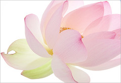 Close up / up close /  of a Pink Lotus Flower - IMG_3366 - , , ,  , Fleur de Lotus, Lotosblume, , , (Bahman Farzad) Tags: flower macro up closeup close lotus upclose lotusflower therapist flowermacro lotusflowers macroflower lotuspetal lotuspetals lotusflowerpetals lotusflowerpetal
