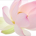 Close up / up close / of a Pink Lotus Flower - IMG_3366 - , ハスの花, 莲花, گل لوتوس, Fleur de Lotus, Lotosblume, कुंद, 연꽃,