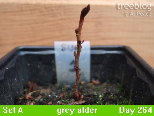 grey alder Number 1
