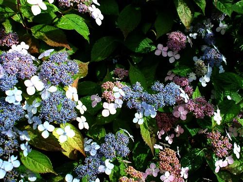multicolour hydrangea