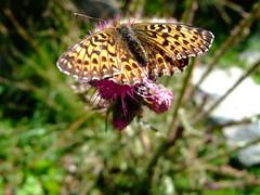 Schmetterling auf Distel (gernotp) Tags: berg tiere sterreich sommer natur pflanzen blumen makro schladming wandern steiermark insekten ort uniramia schladmingertauern untertal gliederfser grv4al grl5al