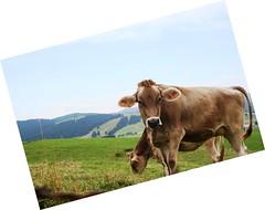 caseificio (kikk@-) Tags: asiago montagna mucche pascolo