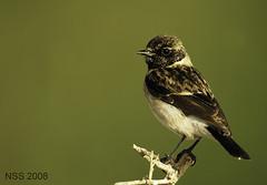 (N-S-S) Tags: bird birds nikon sigma kuwait nikkor  nasser 800mm  nss    vwc       kvwc    alsolihem