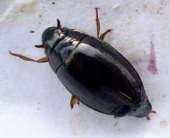 Coleoptera:  Gyrinus natator (Mick E. Talbot) Tags: macro nature fauna wildlife beetles coleoptera natator lincolnshirewildlife gyrinus gyrinusnatator