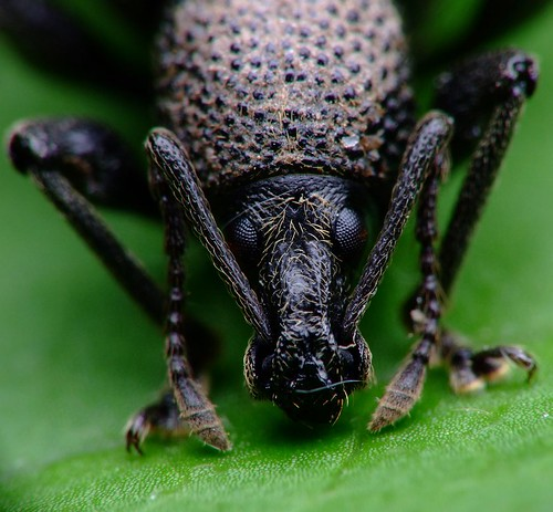Insect Face Insect Faces · Vine Weevil