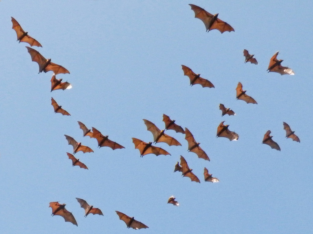 Fruit bats of Indonesia