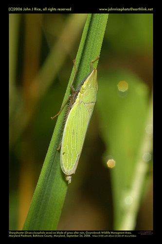 Sharpshooter (Draeculacephala zeae) on blade of grass after rain