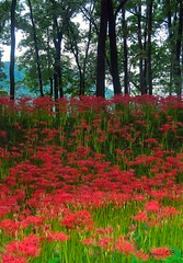 Red in the Forest (nippak) Tags: red summer flower green nature japan spider lily blossom vivid saitama florest spiderlily kinchakuda